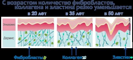 Фибробласты - основной строительный материал нашей кожи